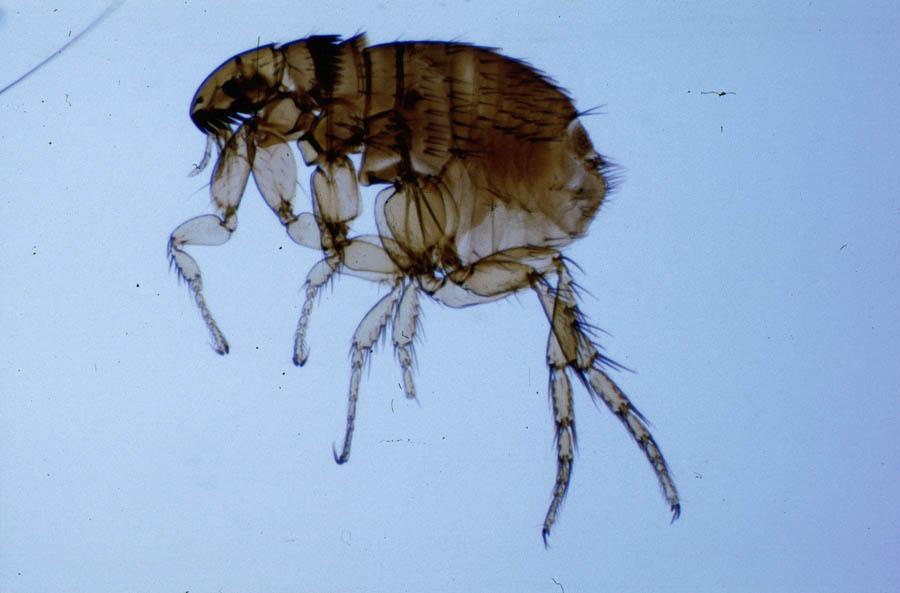 Cat flea bites