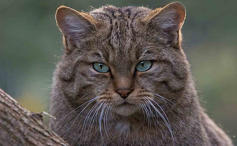 Знакомьтесь: хозяин болот, или как выглядит камышовый кот