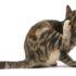 Блохи у кошек: результаты опроса