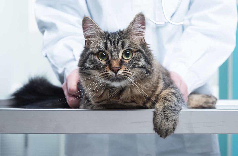 Рак желудка у кошек