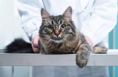 Опухоль желудка у кошки