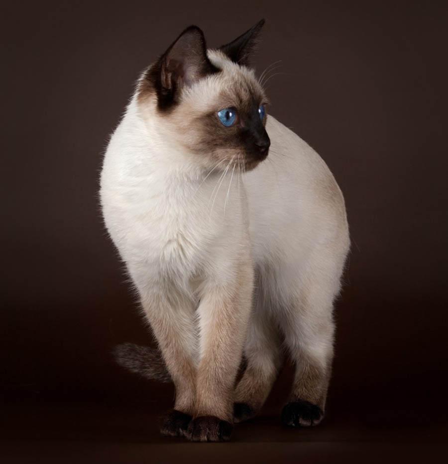 Особенности тайской кошки