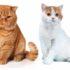 Отличие британских кошек от шотландских: сравним фото