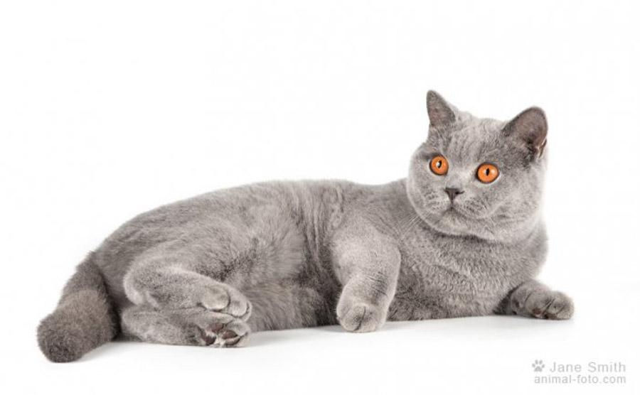 Отличие британских кошек от шотландских: фото британца