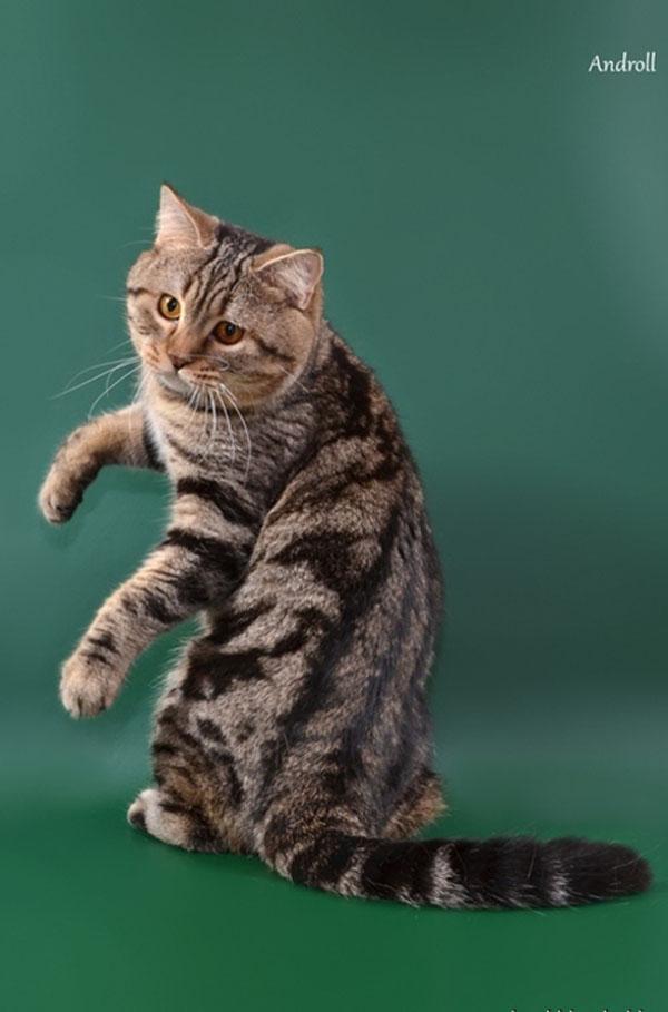 Отличие британских кошек от шотландских: фото шотландца