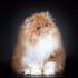 Персидская кошка: история и не только