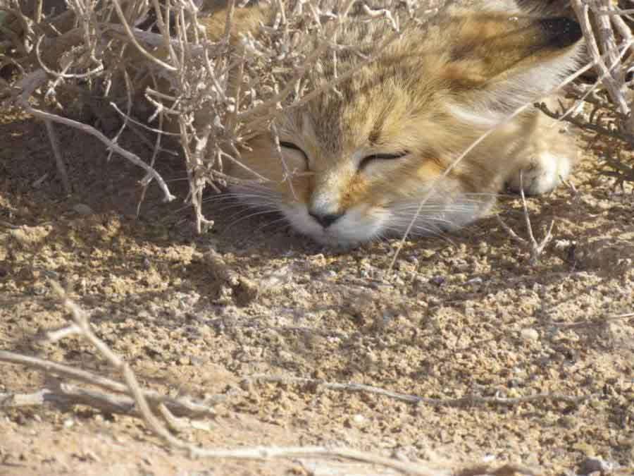 Песчаный или бархатный кот