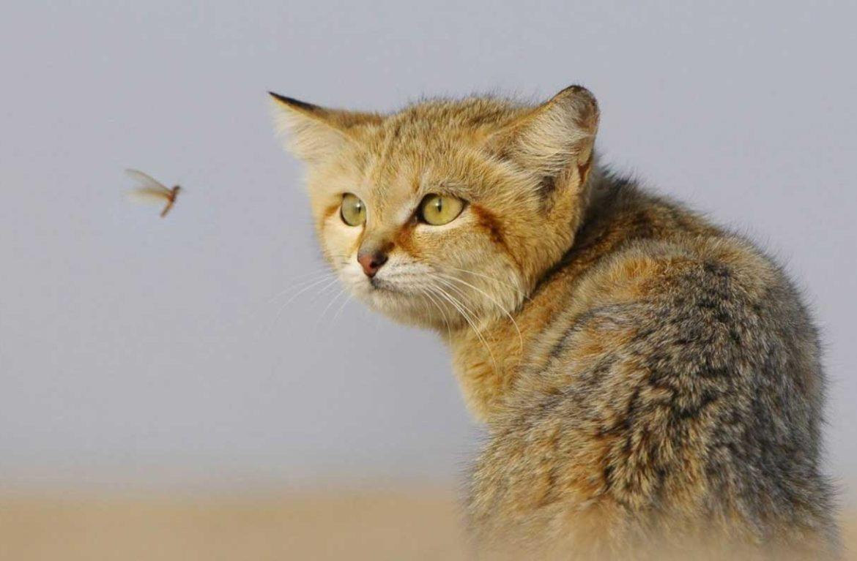 Генерал пустыни: барханный кот