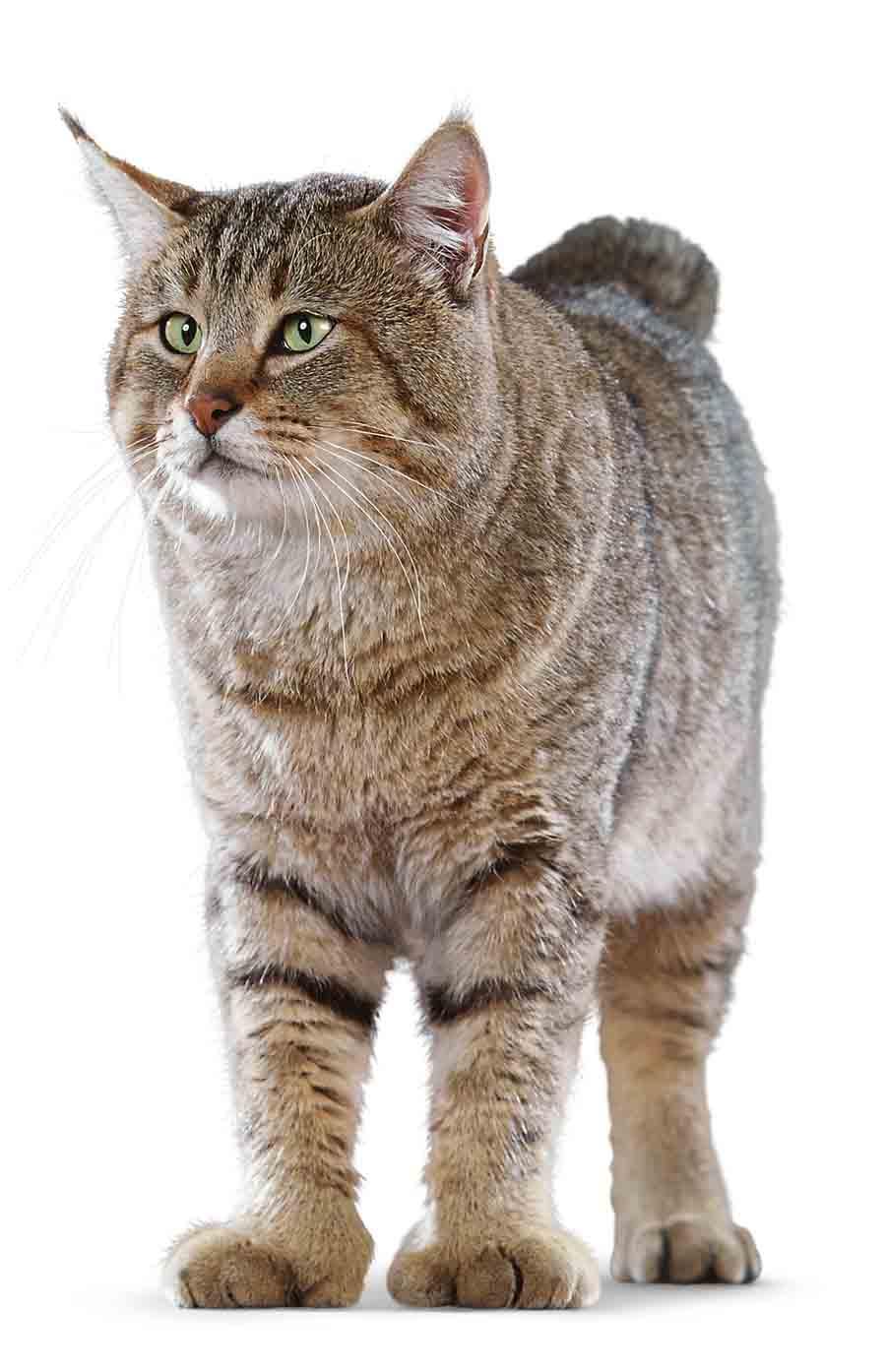 Фото кошки пикси-боб