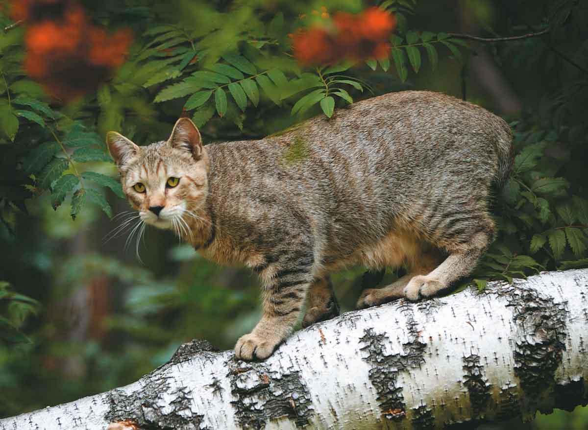 Порода кошек пикси-боб