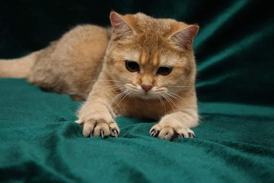 Почему кошка топчет одеяло
