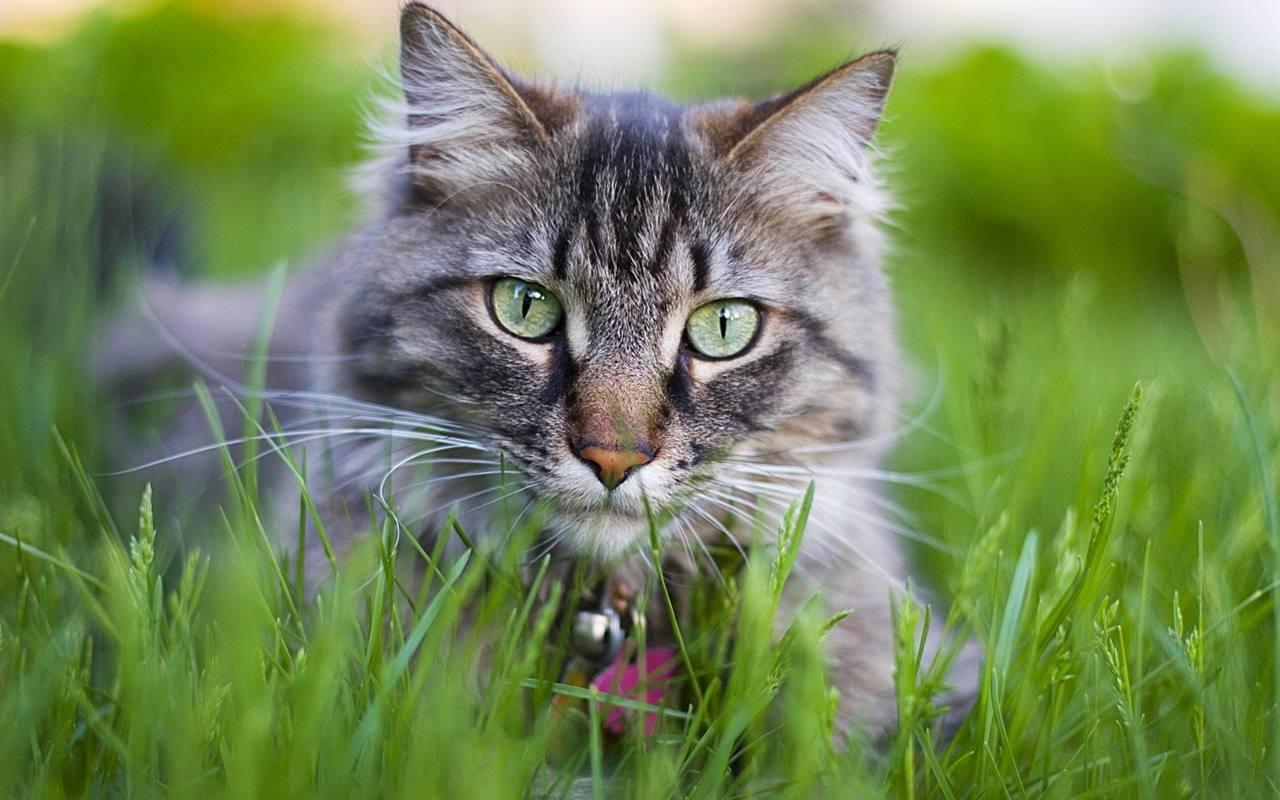 Почему кошки едят траву пырей