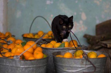 Почему кошки не любят запах цитрусовых