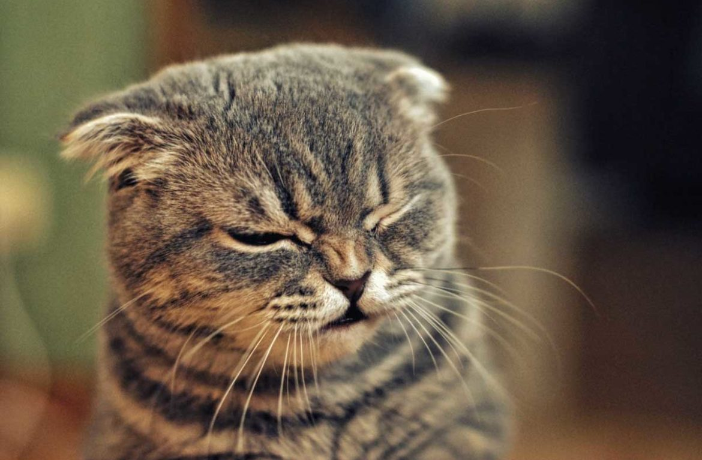 Как и чем лечить кота, который чихает?
