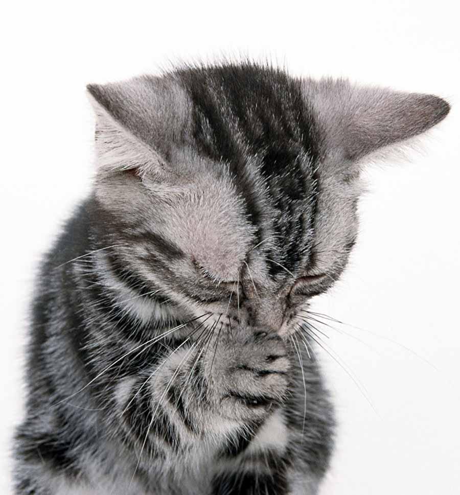 Почему коты чихают и кашляю