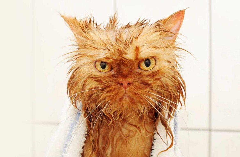 Сколько раз в год мыть кота