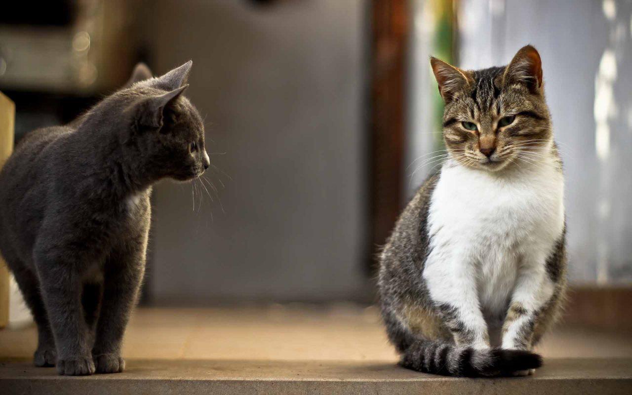 Почему в доме уживается несколько кошек