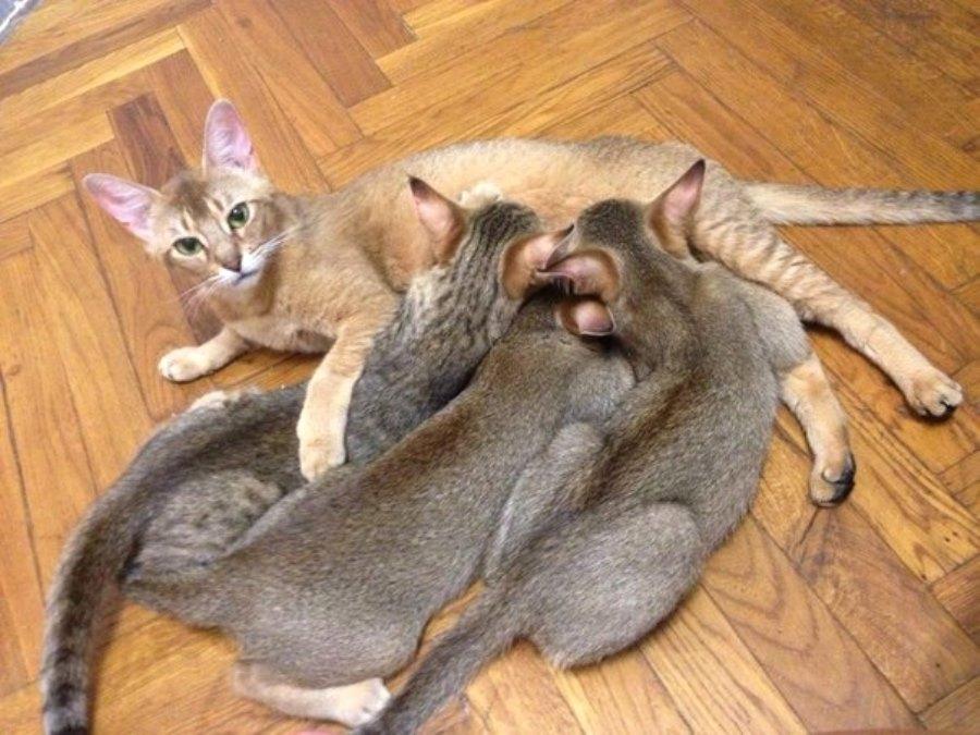 Помесь камышового кота