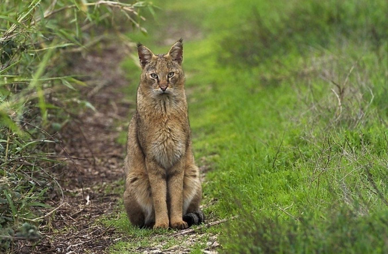 Помесь камышового кота, или домашние дикари