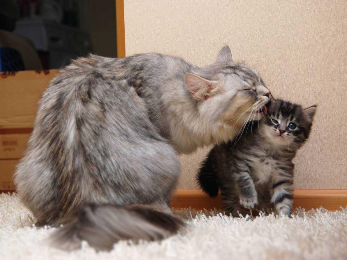Помнят ли кошки своих котят