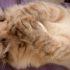Американский кёрл: фото кошки с уникальными ушами