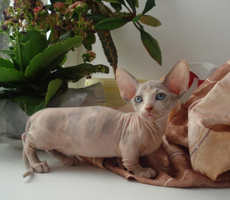 Порода бамбино: фото