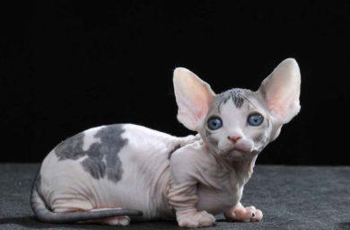 Фото кошки породы бамбино