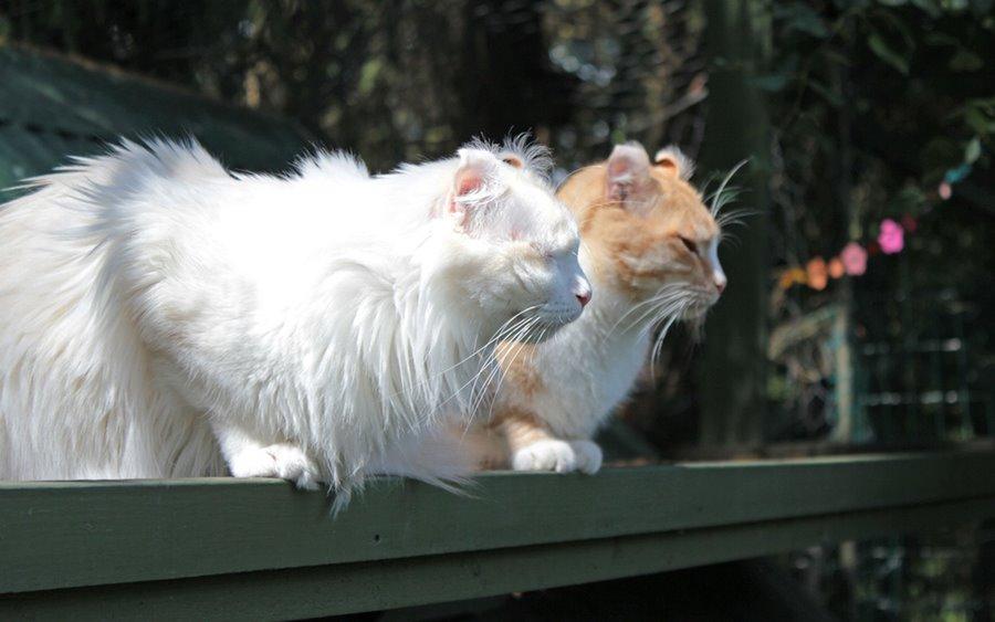 Порода кошек американский кёрл: фото