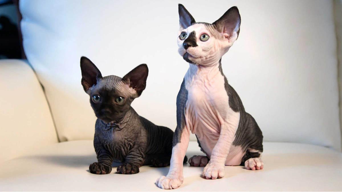 Фото породы кошек бамбино