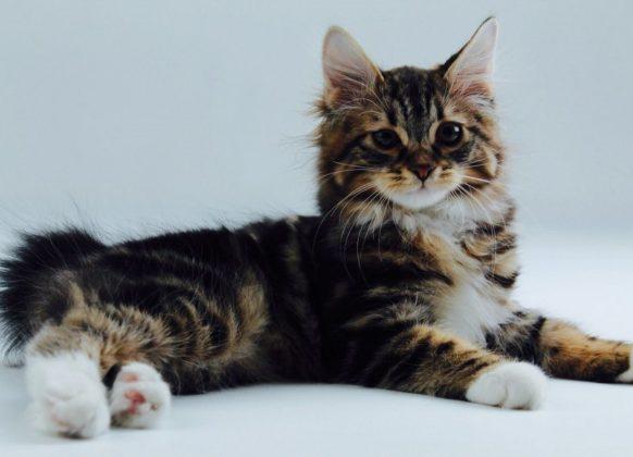 Порода кошек без хвоста курильский бобтейл
