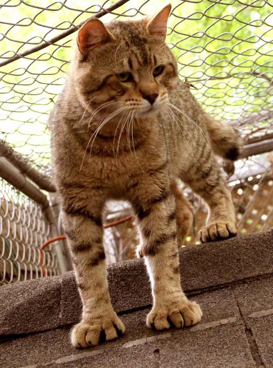 Порода кошек без хвоста пикси-боб