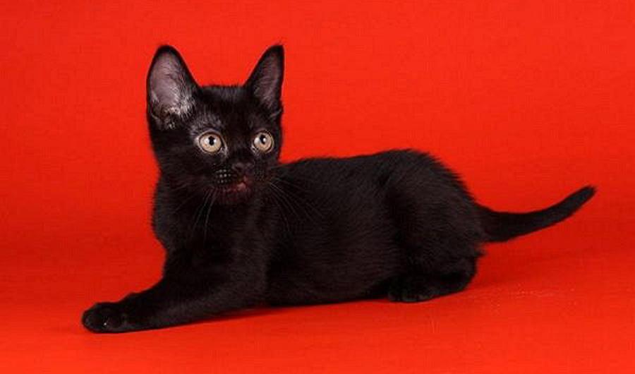 Купить кошку бомбейской породы
