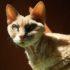 Сколько стоит девон-рекс: цена кошек-эльфов