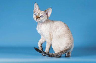 Купить породу кошек девон-рекса