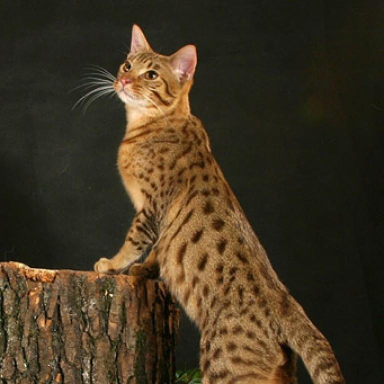 Порода кошек калифорнийская-сияющая