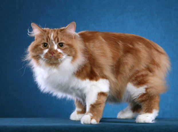 Фото кошек породы кимрик
