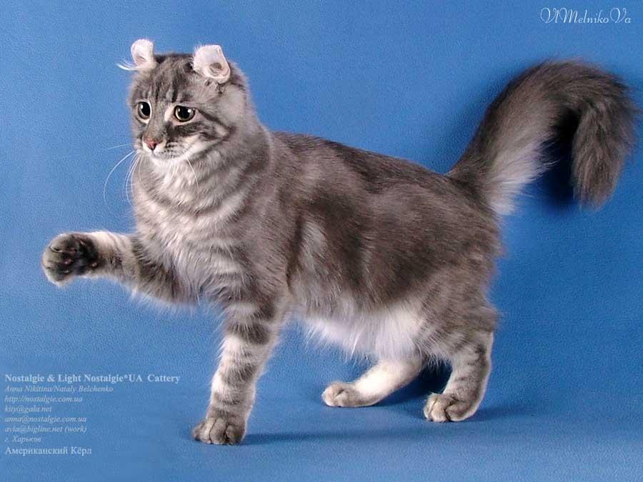 Порода кошек кёрл