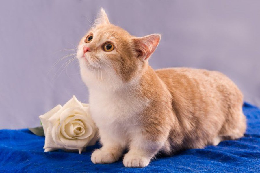Порода кошек манчкин: фото