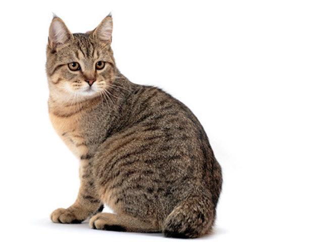 Порода кошек пикси-боб — фото