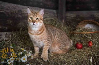 Порода кошек пикси-боб - фото
