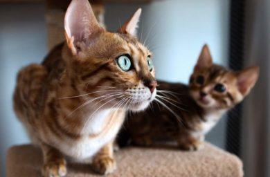 Порода кошек серенгети: фото, цена
