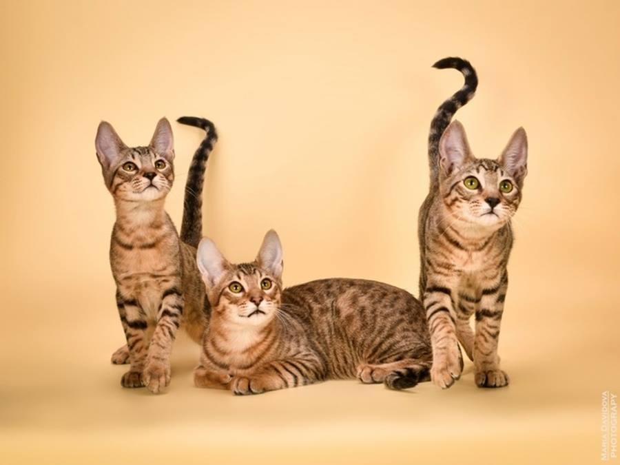 Порода кошек серенгети: фото