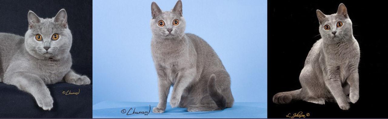 Порода кошек шартрез - фото