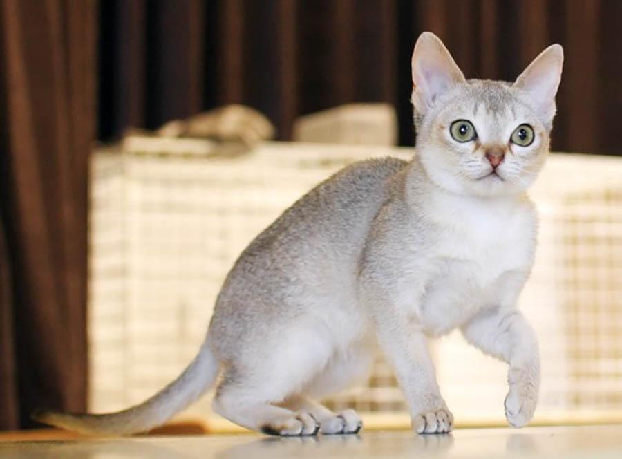 Порода кошек сингапура