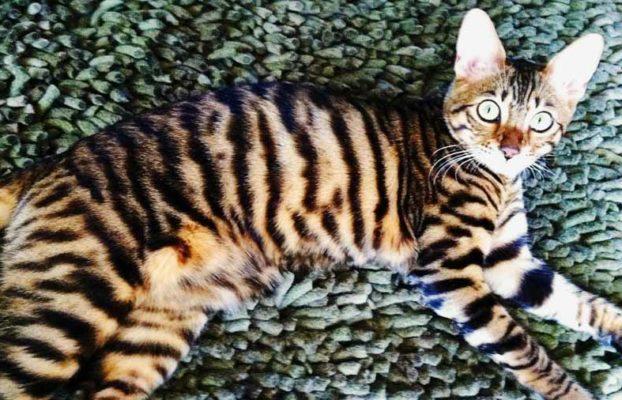Порода кошек тойгер: фото