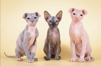 Порода кошек украинский левкой - фото