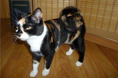 Порода кошек с закрученным хвостом