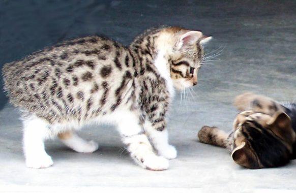 Как называется порода кошки без хвоста