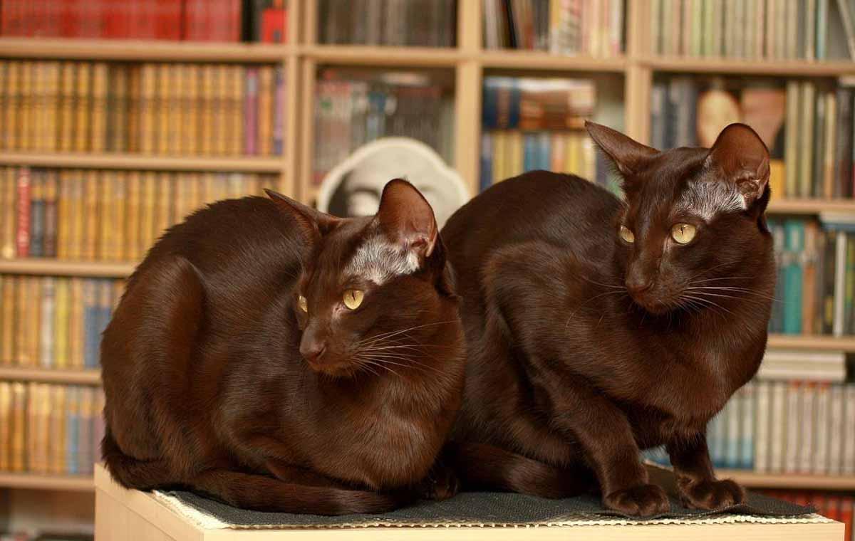 Порода кошки гавана браун – описание