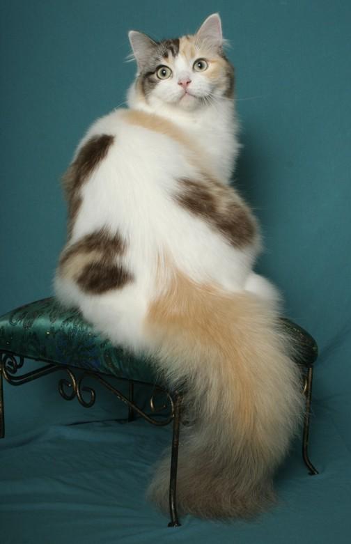 Порода кошки рагамаффин